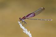 American Rubyspot<br /> Hetaerina americana<br /> male<br /> Onion Creek @ Creek Road<br /> Dripping Springs,<br /> Hays Co., Texas<br /> 11 July 2012