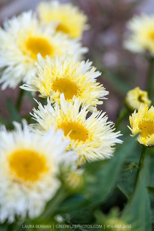 Gold Rush Shasta Daisy (Leucanthemum superbum 'Goldrush' syn. Leucanthemum x superbum 'Goldrausch')