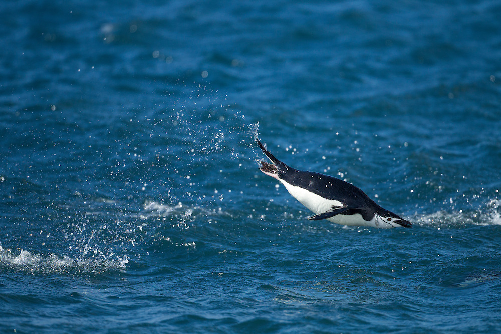 Antarctica, South Shetland Islands, Chinstrap Penguin (Pygoscelis antarcticus) porpoise while swimming toward Bailey Head on Deception Island