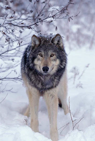 Gray Wolf, (Canis lupus) Adult. Midwest. Captive Animal.