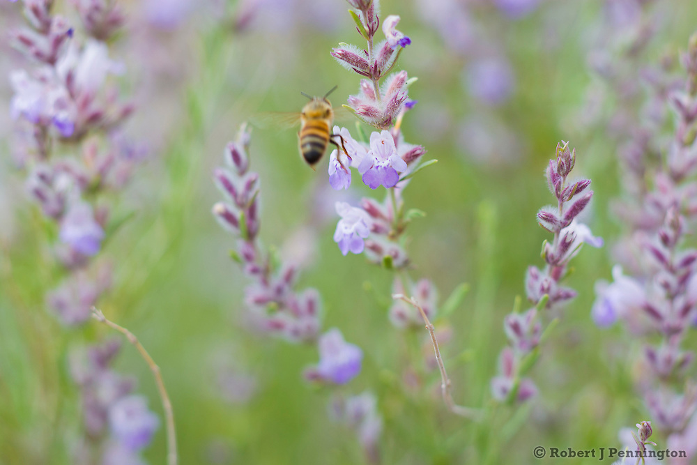 Bees pollinating Purple sage in Southern Utah.