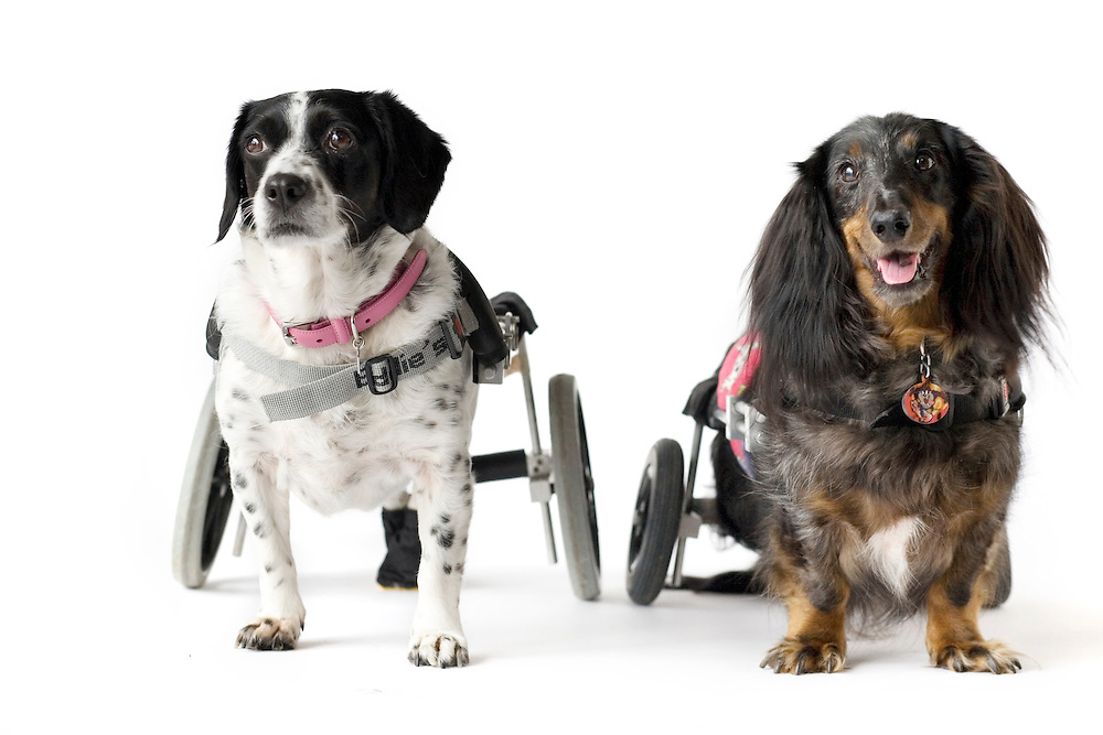 Lola, left, a beagle terrier, and Ryker, a dachshund, are both able to walk with the aid of a cart custom fitted to their dimensions at the Animal Rehabilitation & Wellness Hospital in Raleigh, NC.