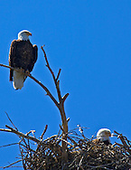 Two Bald Eagles, eagles nest, Yellowstone National Park