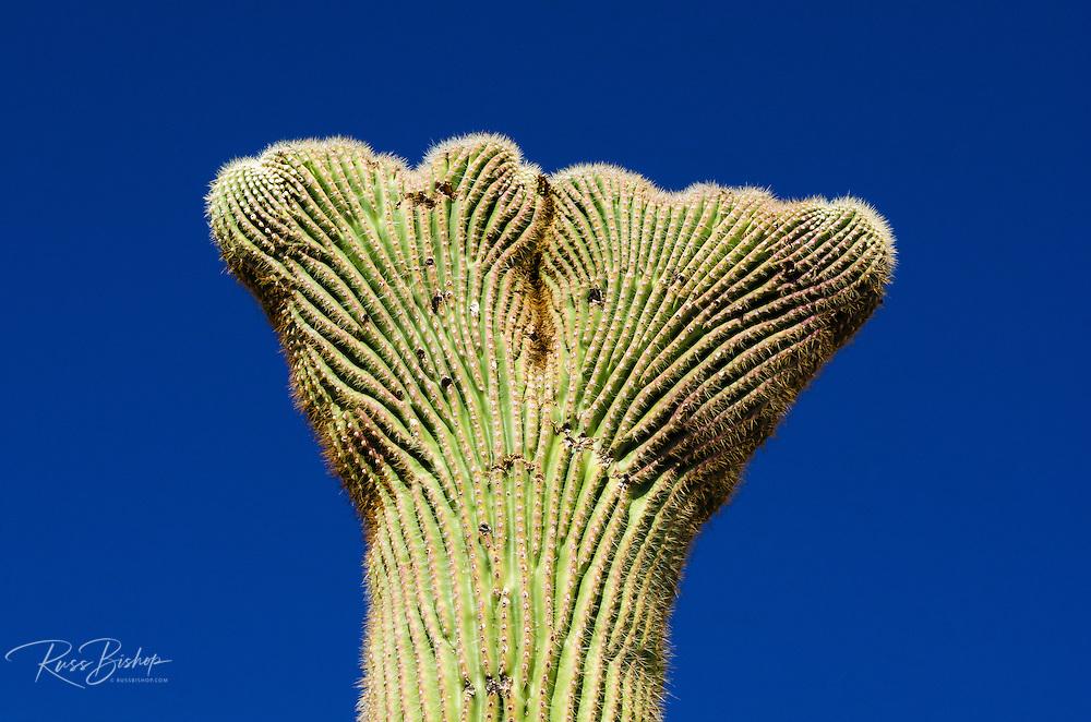 Saguaro cactus crown in the Ajo Mountains, Organ Pipe Cactus National Monument, Arizona USA