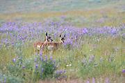 Pronghorn (Antelope) Fawns in Habitat