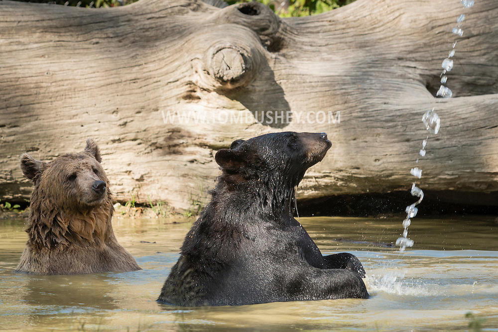Otisville, New York - Bears play in the water at the Orphaned Wildlife Center on Sept. 7, 2016.
