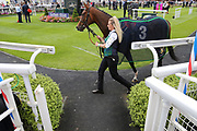 MRS BOUQUET (3) ridden by Connor Beasley and trained by Mark Johnston in the Parade Ring prior to winning The Garbutt & Elliott Handicap Stakes over 5f (£15,000) during the John Smiths Cup Meeting at York Racecourse, York, United Kingdom on 12 July 2019.