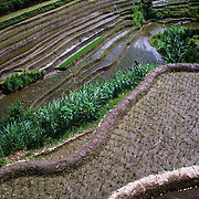 Irrigated rice paddies line a terraced hillside in Bali, Indonesia. The different stages of wet rice cultivation are evident, with the empty and recently planted rice visible in the foreground and the lush green rice paddies in the distance.