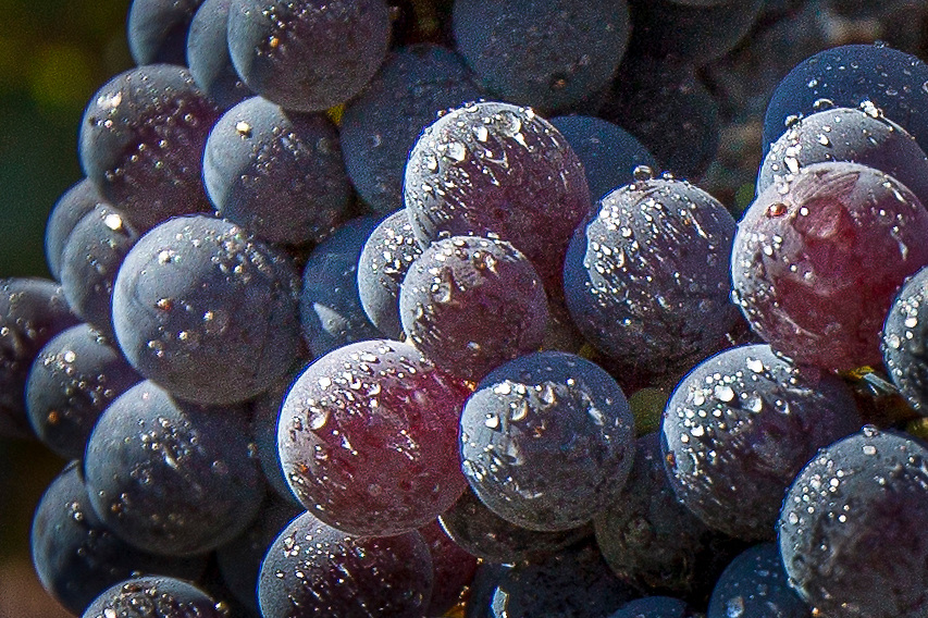 Photograph of wine grapes in a vineyard in Napa Valley's wine country.
