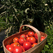 A basket of just picked tomatoes on a farm in Concord, MA, USA