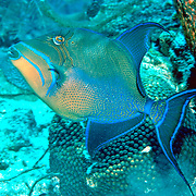 Queen Triggerfish inhabit coral reefs, adjacent areas of rubble and seagrass in Tropical West Atlantic; picture taken Roatan, Honduras.