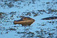 Arthur R. Marshall Loxahatchee National Wildlife Reserve, Wellington, Florida, USA. American Alligator (Alligator mississippiensis)   Photo: Peter Llewellyn