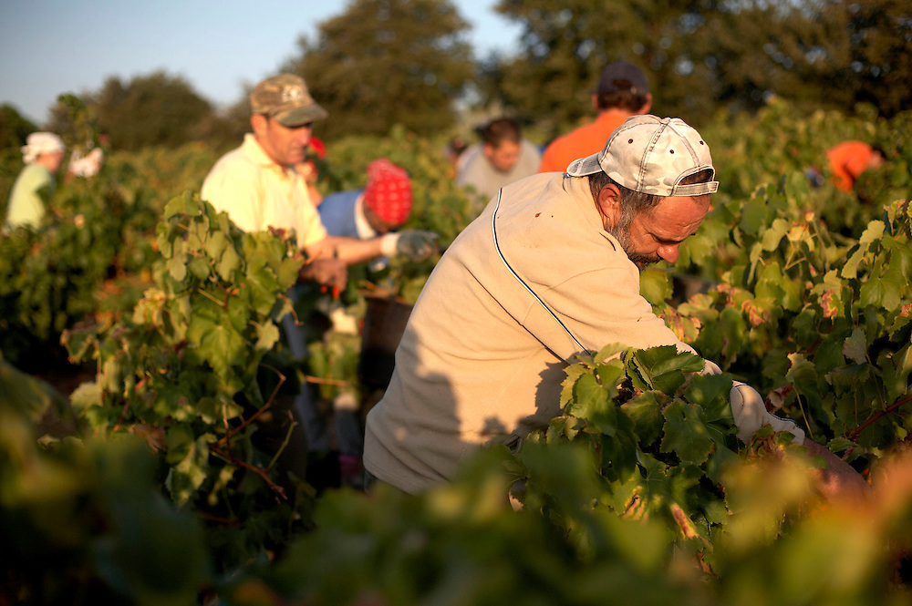 September, 7 2009. Environment. Grape harvest in the south of France. Workers picking up grapes. Pollestres. Pyrenées-Orientales. France.