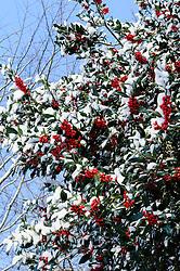 Hulst, Ilex aquifolium