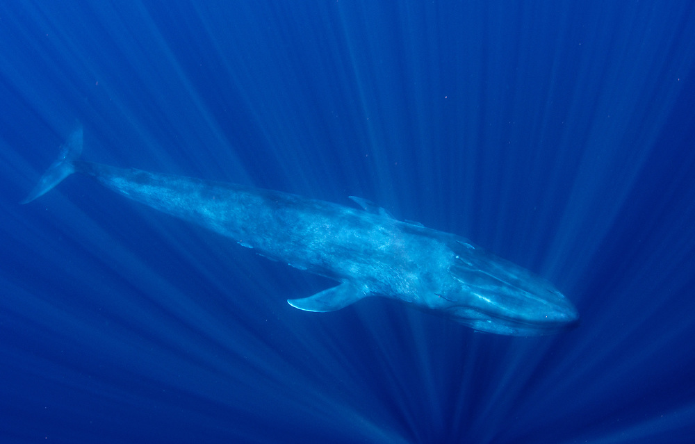 A blue whale underwater off Sri Lanka
