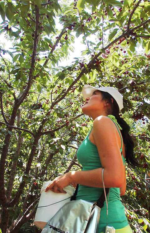 Tracy Ting, 23, from Irvine looks for more cherries to pick at Pat and Marie's Cherry Ranch.  Pat says there are plenty of cherries left so the cherry ranches are expected to be open for picking through Fourth of July.  KELLY LACEFIELD/Valley Press Jun 24, 2006