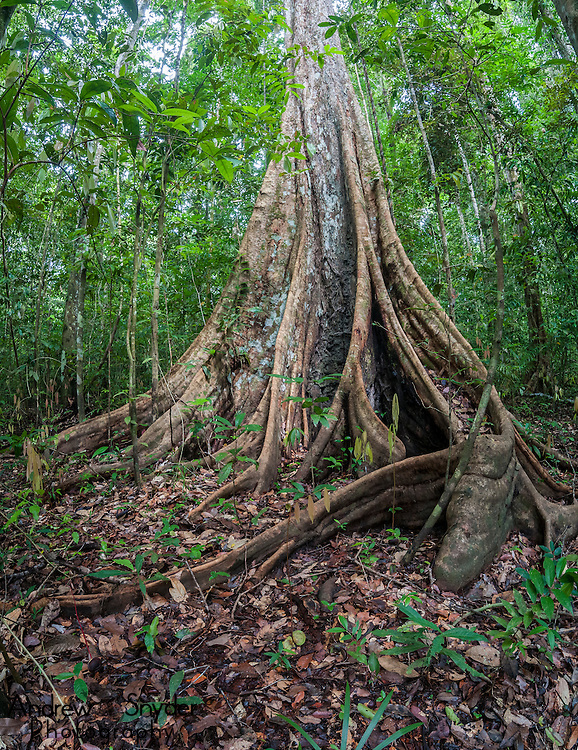 Buttress roots of a large Mora tree (Mora excelsa). Iwokrama rainforest, Guyana.