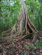 Buttress roots of a large Mora tree (Mora excelsa). Iwokrama rainforest, Guyana.