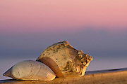 Shells found along the Outer Banks of North Carolina at twilight.