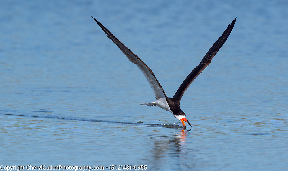 Black Skimmer skimming the pond