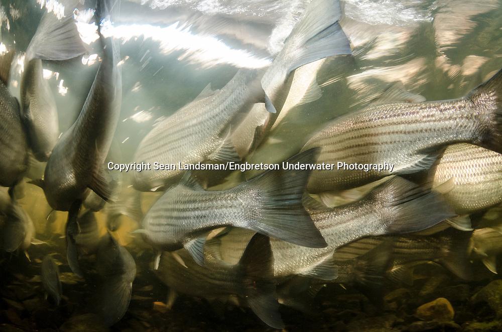 Striped Bass<br /> <br /> Sean Landsman/Engbretson Underwater Photography