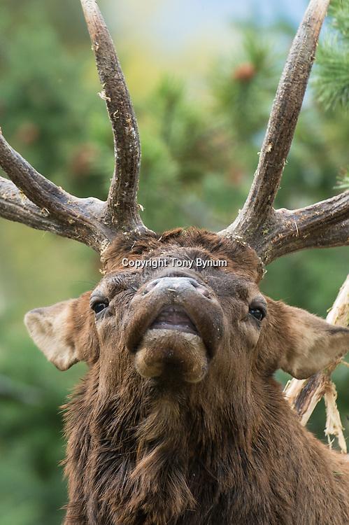 trophy bull elk rubbing sapling