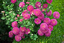 Chrysanthemum 'Pompon Purple'