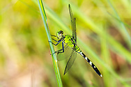 Eastern Pondhawk (Erythemis simplicicollis) - female<br /> United States: North Carolina: Johnston Co.<br /> Central Crops Research Station off Bus. 70<br /> North Carolina State University; Clayton<br /> 15-Sep-2017<br /> J.C. Abbott #2988