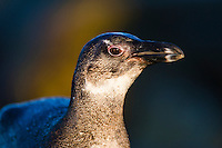 Juvenile African Penguin, Bettys Bay Marine Protected Area, Western Cape, South Africa,