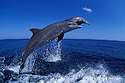 bottlenose dolphins, Tursiops truncatus (c-r)<br /> jump sequence (#1 of 3)<br /> Roatan, Honduras ( Caribbean Sea )