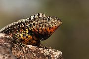 Lava Lizard male (Microlophus albemarlensis)<br /> Puerto Ayora, Santa Cruz Island, GALAPAGOS ISLANDS<br /> ECUADOR.  South America