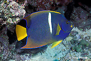 king angelfish, Holacanthus passer, Galapagos Islands, Ecuador,  ( Eastern Pacific Ocean )