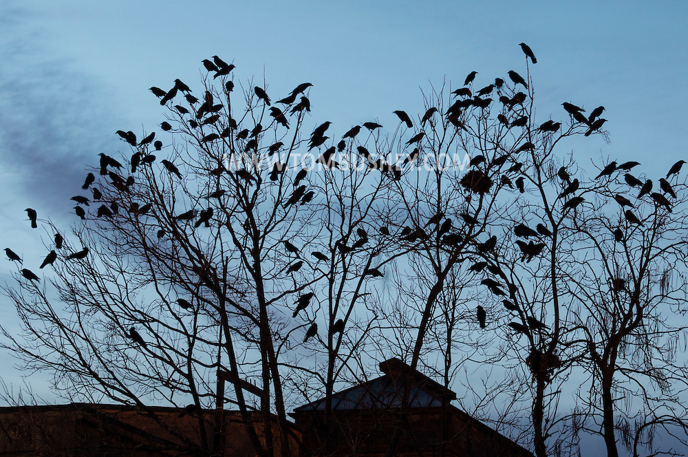 Middletown, New York - Crows roost in trees on the evening of Dec. 10, 2015.