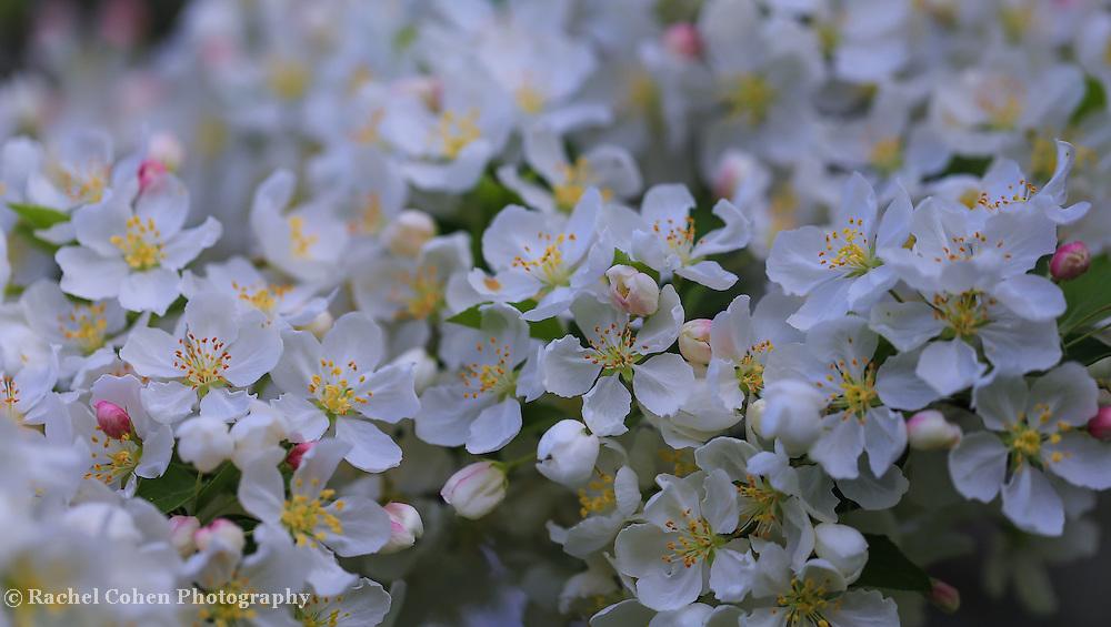 &quot;Pieces of April&quot;<br /> <br /> Gorgeous delicate white apple blossoms in April!