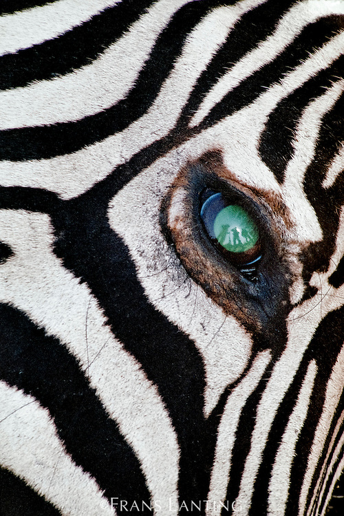 Trophy hunters reflected in eye of dead zebra, Equus quagga, Okavanga Delta, Botswana