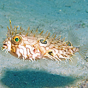 Web Burrfish inhabit reefs and adjacent areas of sand and rubble in Tropical West Atlantic; picture taken  Barbados.