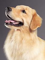Golden Retriever portrait on gray background