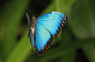 Morpho butterfly (Morpho peleides) flying. Costa Rica. <br />
