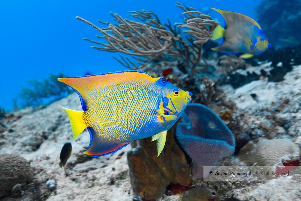 Queen angelfish - Poisson ange royal (Holacanthus ciliaris), Cozumel, Yucatan peninsula, Mexico.