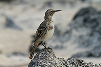 A portrait of the endangered Espanola (Hood) Mockingbird (Mimus macdonaldi), also called the Hood Mockingbird.