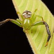 Thomisidae sp, crab spider, Thailand. Pang Sida National Park, Thailand.