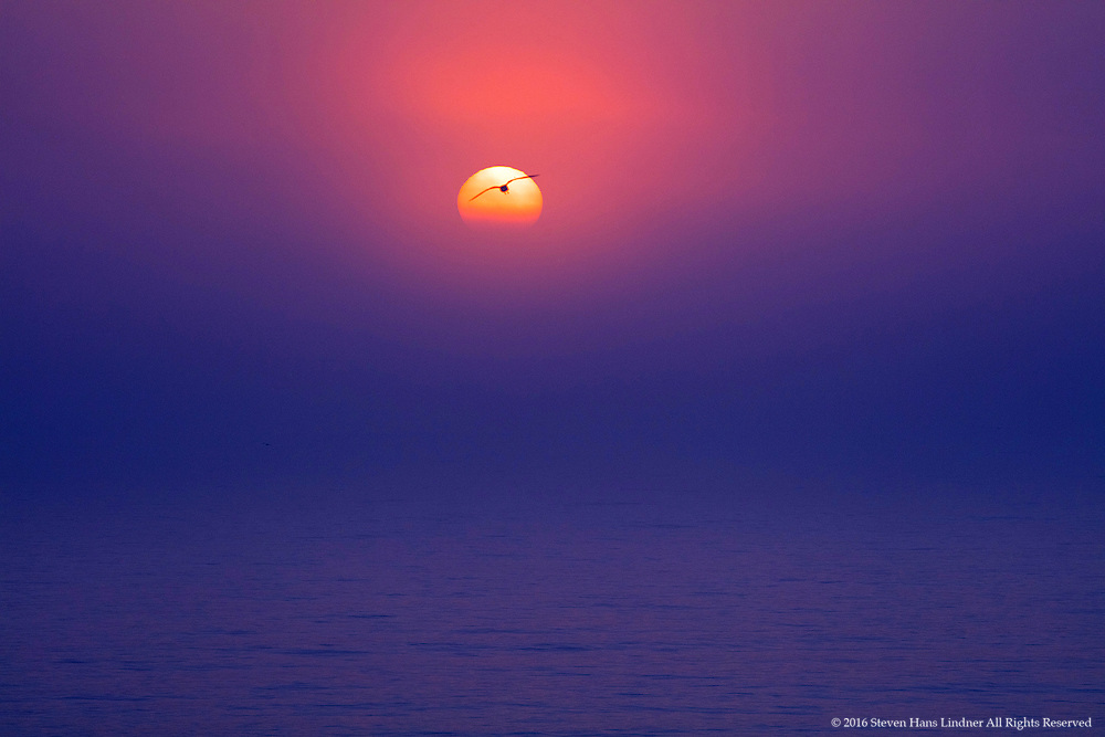 Lone Seagull In Morning Fog Flying Sillouetted by the Sun