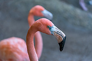 Close up of a pink flamingo head with  its light green eye and large black and white beak. A second flamingo appears in the background of this shallow depth of field photo featuring a pair of pink flamingos near Puerto Vallarta, Mexico.