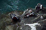 USA, Washington, Olympic National Park, Elwha River, Harlequin Ducks (Histrionicus histrionicus) resting on a rock