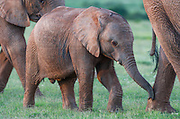 African Elephant calf walking in close proximity to its mother, Addo Elephant National Park, Eastern Cape, South Africa