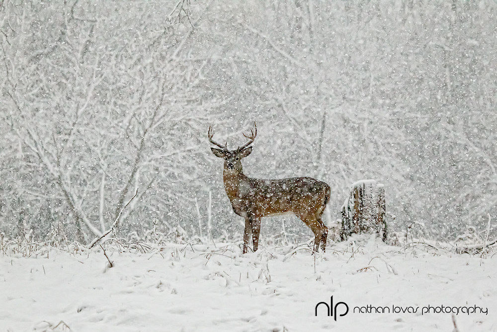 White-tailed deer in snow storm;  Minnesota in wild.