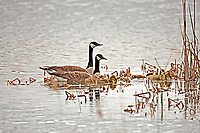A Canadian Goose family feeds alongside the cattails in a marsh pond.