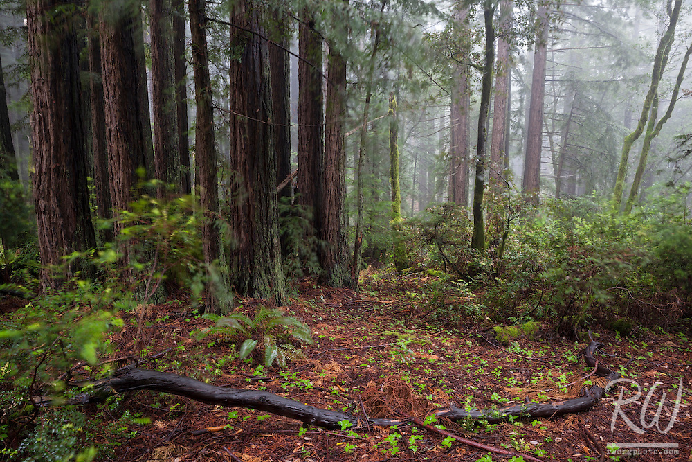 Redwood Forest in Fog, Mount Tamalpais State Park, California