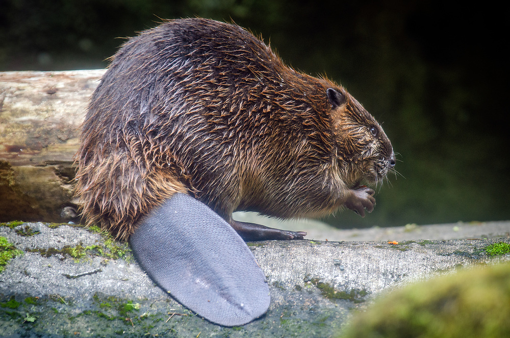 """The North American beaver (Castor canadensis) is one of two extant beaver species. It is native to North America and introduced to Patagonia in South America and some European countries In the United States and Canada, the species is often referred to simply as """"beaver"""", though this causes some confusion because another distantly related rodent, Aplodontia rufa, is often called the """"mountain beaver"""""""