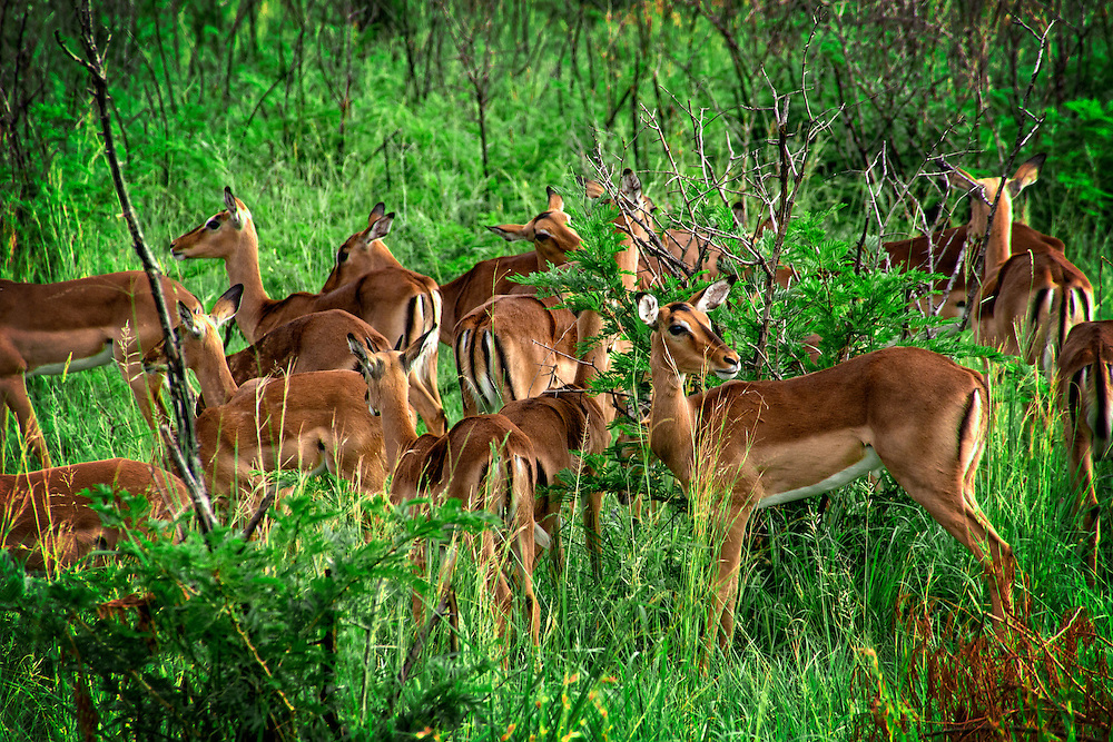 The impala is a medium sized African antelope.  They live near water sources in savanna grassland and woodland areas.  Impalas are know for their leaping ability being able to reaching heights of almost ten feet.